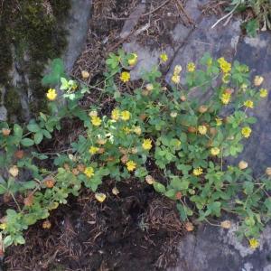Photographie n°262689 du taxon Trifolium aureum Pollich [1777]