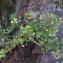 Liliane Roubaudi - Trifolium aureum Pollich [1777]