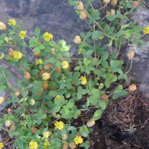 Photographie n°262690 du taxon Trifolium aureum Pollich [1777]