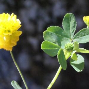 Photographie n°262693 du taxon Trifolium aureum Pollich [1777]