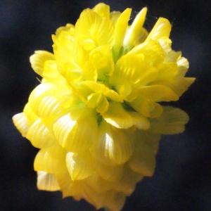 Photographie n°262695 du taxon Trifolium aureum Pollich [1777]