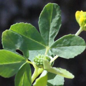 Photographie n°262696 du taxon Trifolium aureum Pollich [1777]