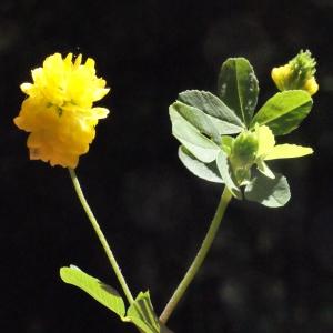 Photographie n°262698 du taxon Trifolium aureum Pollich [1777]