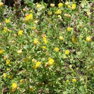 Photographie n°262699 du taxon Trifolium aureum Pollich [1777]