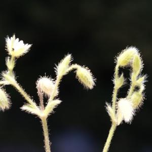 Photographie n°262728 du taxon Cerastium comatum Desv.