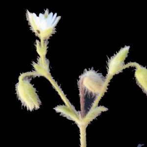 Photographie n°262732 du taxon Cerastium comatum Desv.