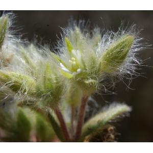 Cerastium pilosum Sm. [1809] (Céraiste chevelu)