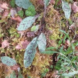 Photographie n°263077 du taxon Hieracium maculatum Schrank