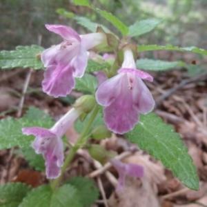 Photographie n°263079 du taxon Melittis melissophyllum L.