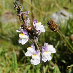 Photographie n°263090 du taxon Linaria repens (L.) Mill. [1768]