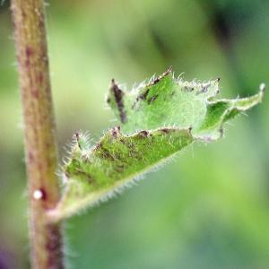 Photographie n°263129 du taxon Hieracium maculatum Schrank [1789]