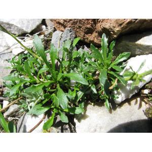 Iberis carnosa Willd. (Ibéris couleur de chair)