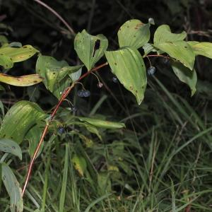 Photographie n°263383 du taxon Polygonatum multiflorum (L.) All. [1785]