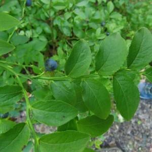 Photographie n°263460 du taxon Vaccinium myrtillus L.