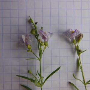 Photographie n°263464 du taxon Linaria striata (Lam.) DC. [1805]