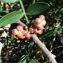 Pierre Bonnet - Pistacia lentiscus L. [1753]