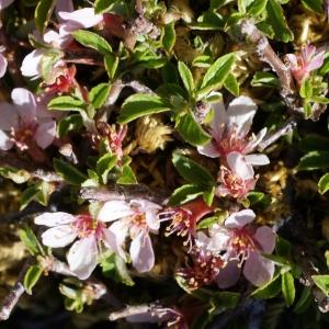Photographie n°263498 du taxon Prunus prostrata Labill. [1791]