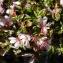 Liliane Roubaudi - Prunus prostrata Labill. [1791]