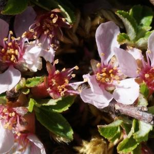 Photographie n°263499 du taxon Prunus prostrata Labill. [1791]