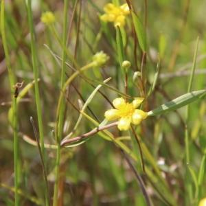 Photographie n°263592 du taxon Ranunculus flammula L. [1753]