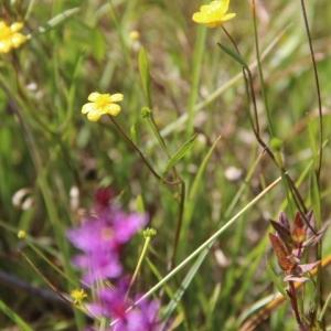 Photographie n°263593 du taxon Ranunculus flammula L. [1753]
