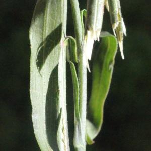 Photographie n°263834 du taxon Symphyotrichum subulatum (Michx.) G.L.Nesom [1995]