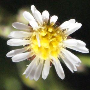 Photographie n°263836 du taxon Symphyotrichum subulatum (Michx.) G.L.Nesom [1995]