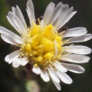 Photographie n°263837 du taxon Symphyotrichum subulatum (Michx.) G.L.Nesom [1995]