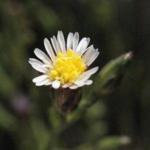 Photographie n°263838 du taxon Symphyotrichum subulatum (Michx.) G.L.Nesom [1995]