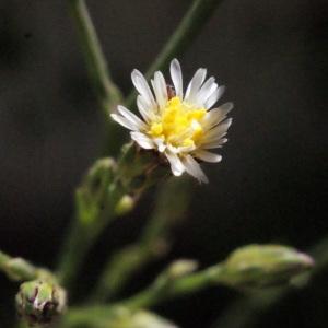 Photographie n°263839 du taxon Symphyotrichum subulatum (Michx.) G.L.Nesom [1995]