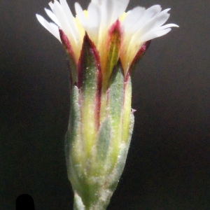 Photographie n°263841 du taxon Symphyotrichum subulatum (Michx.) G.L.Nesom [1995]