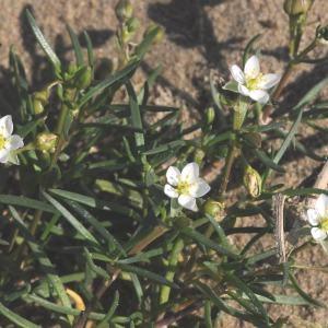 Photographie n°263958 du taxon Spergula media (L.) Bartl. & H.L.Wendl. [1825]