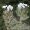 Liliane Roubaudi - Echium arenarium Guss.
