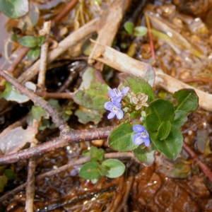 Photographie n°264083 du taxon Veronica beccabunga L.