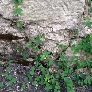 Photographie n°264406 du taxon Trifolium campestre Schreb. [1804]