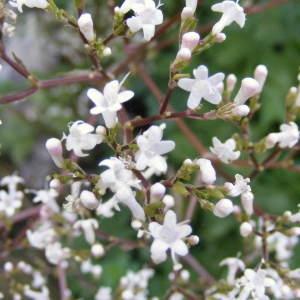 Photographie n°264508 du taxon Valeriana officinalis f. repens (Host) B.Bock