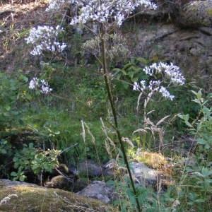 Photographie n°264509 du taxon Valeriana officinalis f. repens (Host) B.Bock