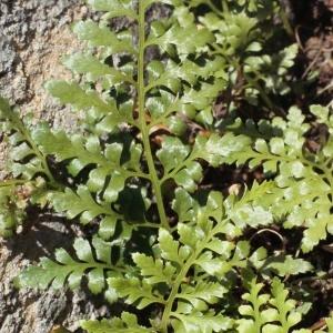 Asplenium adiantum-nigrum var. silesiacum (Milde) Milde