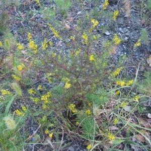 Photographie n°264549 du taxon Odontites luteus subsp. luteus