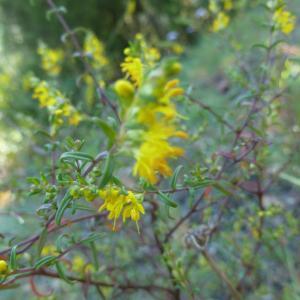 Photographie n°264550 du taxon Odontites luteus subsp. luteus