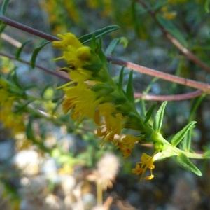 Photographie n°264552 du taxon Odontites luteus subsp. luteus
