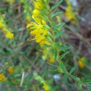 Photographie n°264553 du taxon Odontites luteus subsp. luteus
