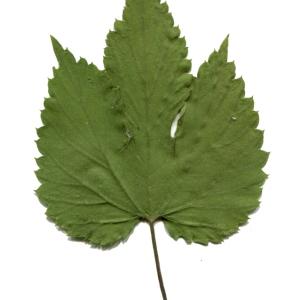 - Humulus lupulus L. [1753]
