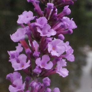 Photographie n°264665 du taxon Buddleja davidii Franch. [1887]