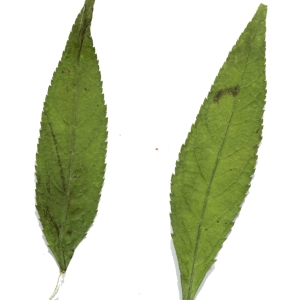 Photographie n°264667 du taxon Buddleja davidii Franch. [1887]