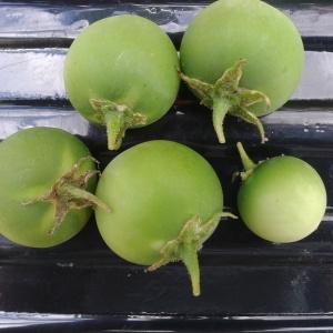 Photographie n°264709 du taxon Solanum tuberosum L.