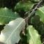 Tela BOTANICA - Quercus ilex L.