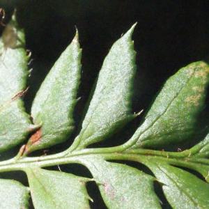 Photographie n°264775 du taxon Polystichum aculeatum (L.) Roth [1799]