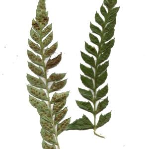 Photographie n°264777 du taxon Polystichum aculeatum (L.) Roth [1799]
