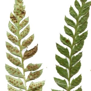 Photographie n°264778 du taxon Polystichum aculeatum (L.) Roth [1799]